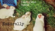 The Coleman Homestead: Feeding Meat Rabbits Naturally All About Rabbits, Raising Rabbits For Meat, Meat Rabbits, Rabbit Eating, Rabbit Feed, Mini Goats, Chicken And Cow, Livestock Farming, Future Farms