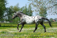 Equine Photography - Karolina Wengerek Dots and spots - Debiut