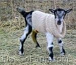 Keeping warm as well as fashionable. Goats In Sweaters, Keep Warm, Cowl Neck, Training, Fashion, Moda, La Mode, Polo Neck, Fasion