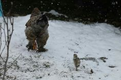 Owl, Bird, Animals, Outdoor, Hens, Outdoors, Animales, Animaux, Owls