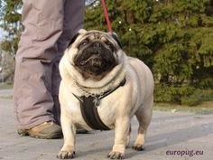 Our pug is a fighter and defender - http://europug.eu/our-fighter-defender/