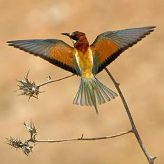The bee-eater by Amnon Eichelberg