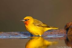Spectacled Weaver by Inus Du Preez. (South Africa)