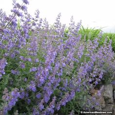 Purple Catmint Walkers Low, Nepeta faassenii, Catmint or Catnip