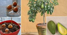 Stop buying avocados, because there is a simple method of growing an avocado tree in a small pot at home.Therefore grow an avocado tree at home, so you will save your health and your money at the same time . Fruit Vert, Green Fruit, Herbal Remedies, Home Remedies, Natural Remedies, Super Dieta, Growing An Avocado Tree, Grow Avocado From Pit, Herbs