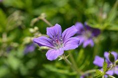 Metsäkurjenpolvi | Vesan viherpiperryskuvat – puutarha kukkii