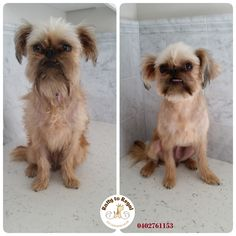 Exotic name 🏝️. Exotic breed 🎀. Gigi 🐕. Brussels Griffon. 11 months young. Full Groom. Ratty to Regal - Professional Dog Grooming Service in Bicton  with Lots of Love, Care, Patience and Treats:) Mob.: 04 02 761153 Ula Facebook: https://www.facebook.com/rattytoregal/  Website: https://rattytoregal.wixsite.com/rattytoregal