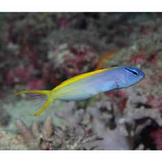35 best blenny images aquarium aquarius fish tank