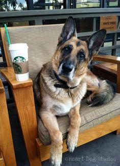 Beautiful German Shepherd just relaxing with a Starbucks coffee!