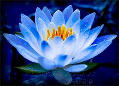 The blue lotus signifies wisdom and knowledge, and stands for the victory over the senses.