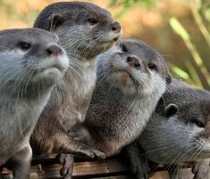 I love otters! These look as though they are attempting to decide a very intense question.