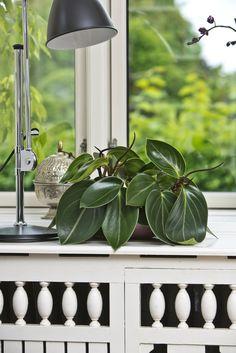 Peperomia maculosa (radiator plant)   Floradania