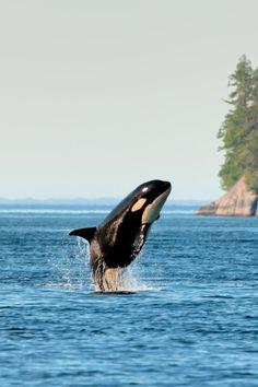 Orca British Columbia (by (Sam)oht Ekpil / 500px)