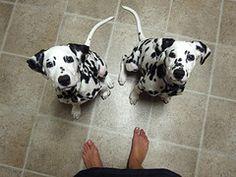 dalmatian puppies #dalmatian #spots #spots #puppy
