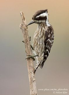 """""""The Sunda Woodpecker (Dendrocopos moluccensis), also known as the Sunda Woodpecker, is a species of bird in the Picidae family. It is found in Brunei, Indonesia, Malaysia, and Singapore."""""""