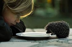 Baby hedgehog drinking from plate