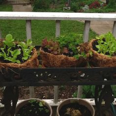 Lettuce in coconut baskets. It looked great until the drought and 100 degree temps.