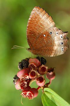 **Palmfly Butterfly