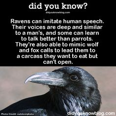 > > See videos of ravens talking here! (you won't...