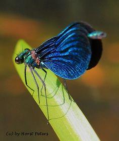 Blaue Prachtlibelle (Calopteryx virgo)