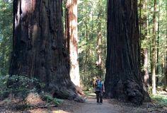 Avenue of Redwoods