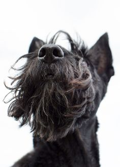 close up photo of a scottie dog face nose and beard
