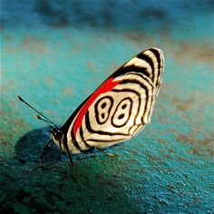 88 butterfly (Diaethria clymena) is one many exotic and mysterious butterflies of the sub-tropical Amazon rainforest.