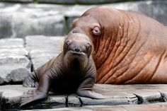 A baby walrus is watched over by her mother Dyna at the Hagenbeck Zoo in Hamburg. The nameless calf was born June 15