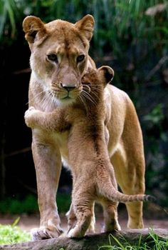 Makes me smile :-) #nature #animals #lions #love