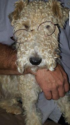 Wire Fox Terrier - Oreo