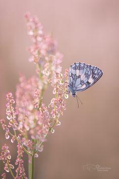 on the meadow by Anke Kneifel Blue Butterfly Wallpaper, Butterfly Photos, Butterfly Painting, Butterfly Art, Butterflies Flying, Beautiful Butterflies, Beautiful Flowers, Cute Wallpapers, Wallpaper Backgrounds