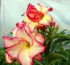 Adenium Obesum Desert Rose 'Amazing' 5 Rare Seeds