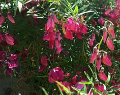 Lathyrus splendens—pride of California. Regional Parks Botanic Garden Photo of the Day. 1 June 2016