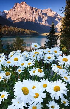 Emerald Lake Lodge, British Columbia, Canada — by Always Wanderlust (Adonis V. Discovered by Always Wanderlust at Emerald Lake Lodge, British Columbia, Canada Beautiful World, Beautiful Places, Beautiful Flowers, White Flowers, Landscape Photography, Nature Photography, Photography Quote, Photography Lessons, Sunflower Photography