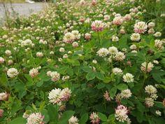 Alsikeapila--Trifolium pratense