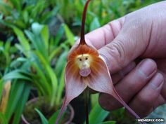The beautiful Monkey Orchid is extremely rare.
