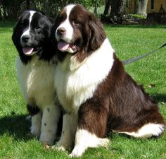 Newfie pups!! (Really want one of these someday!!)