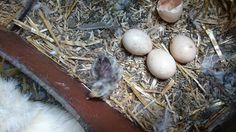 De eieren komen uit!!! 4 juli 2016