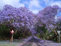 20 tunnels d arbres magiques Jacarandas   20 tunnels darbres magiques   tunnel photo japon image forêt arbre