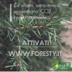 """Negli Alberi """"sempreverdi"""" la fotosintesi avviene in ogni stagione dell'anno. Per questo motivo la fissazione della CO2 avviene in modo continuo."""