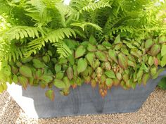 ferns and epimedium rubrum in a galvanized container at Chelsea Flower Show 2015 | digwithdoris photo