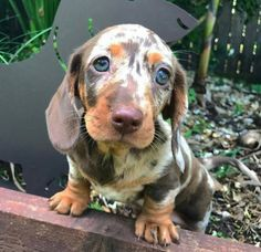 The Diverse Dachshund Breed - Champion Dogs Cute Baby Animals, Animals And Pets, Funny Animals, Cute Puppies, Cute Dogs, Dogs And Puppies, Baby Puppies, Beautiful Dogs, Animals Beautiful