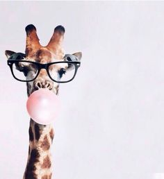 Giraffe wearing eyeglasses & blowing a bubble with pink  bubble gum