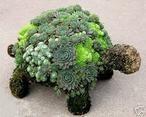schildpad met vetplanten