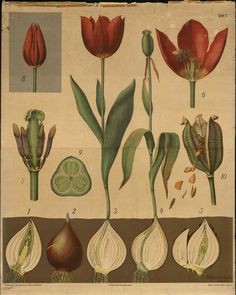 Otto Schmeil Loving Tulip so much ^_^ Botanical Drawings, Botanical Illustration, Botanical Prints, All Nature, Nature Study, Red Tulips, Kew Gardens, Nature Prints, Vintage Flowers