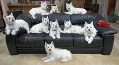 Can you find the Westie hiding in this picture?