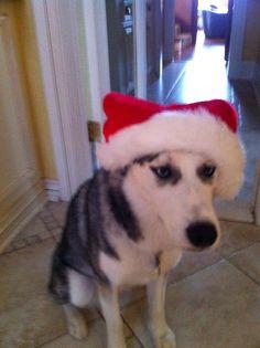 Christmas time .. Husky
