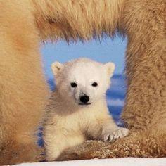 Polar bear cub (Ursus maritimus) beneath mother   Art Wolfe   Getty Images