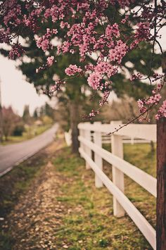 Spring is here. It's the simple things that make life worth living. Life white fences and pink trees.