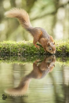 Drinking Red Squirrel by WNPhotography